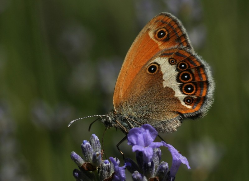 Photo de Coenonympha arcania